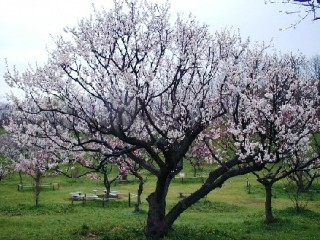 白梅種の全景