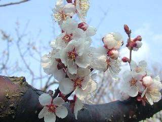 白梅種の花のアップ