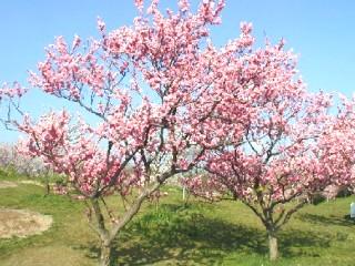 紅梅種全景