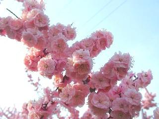 紅梅種の花のアップ