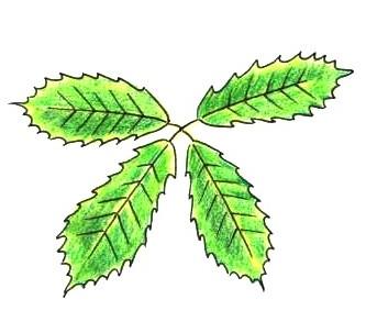 コナラの葉のつき方