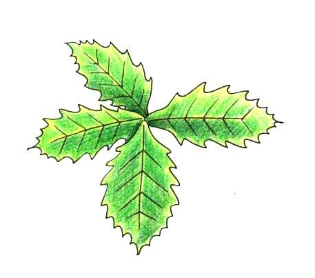 ミズナラの葉のつき方