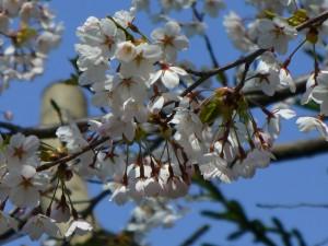 桜と梅の違い