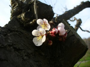 明日から『平岡公園梅まつり2012』開催です!