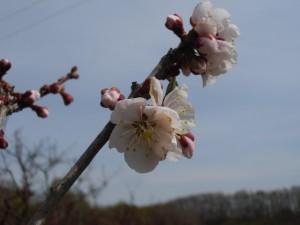 ウメ、ついに開花!梅まつり延長6/2まで