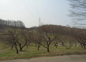 4月26日の梅林のようすと、そっと春を教えてくれた花。