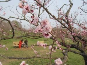 5月8日の梅林のようす~散る白梅、咲く紅梅~