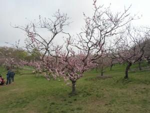 5月10日の梅林の様子~紅梅、九分咲きへ~