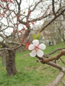 5月13日の梅林のようす~風と共に去る白梅、風に耐える紅梅~