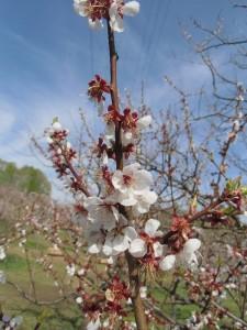 5月12日の梅林のようす~紅梅がんばれ、白梅もがんばれ~