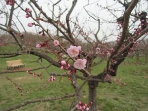 5月5日の梅林のようす~紅梅開花!白梅も七分へ~