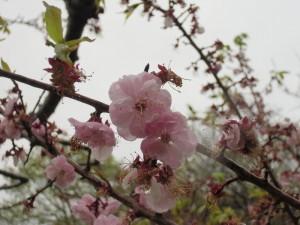 5月16日の梅林のようす~雨ニモ負ケズ~ホオノキ脱皮?