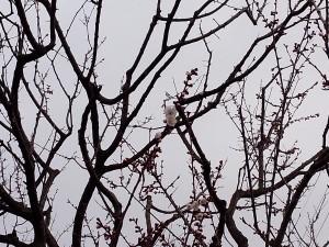 5月2日、ウメ開花宣言!