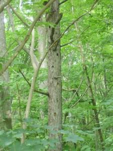 アカゲラの巣がいっぱい
