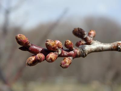 平成28年度 第一回目ウメ開花予測