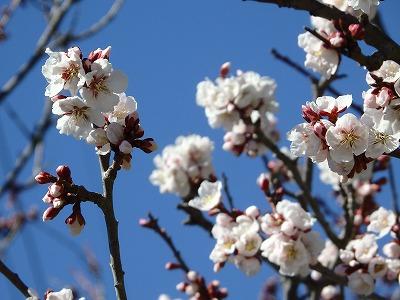 平岡公園梅林ツアーを開催しました