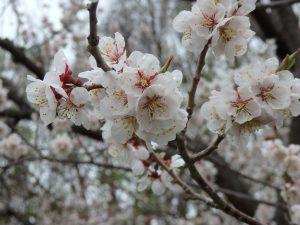 今日の平岡公園梅林(5月11日)