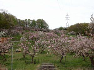 今日の平岡公園梅林(5月13日)