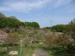 今日の平岡公園梅林(5月20日)