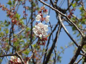 白梅基準木 花