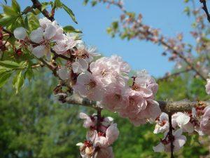紅梅基準木 花