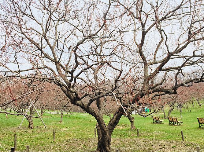 平岡公園白梅基準木