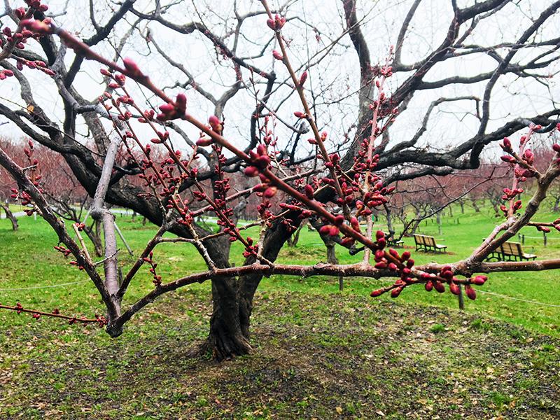 白梅基準木の蕾
