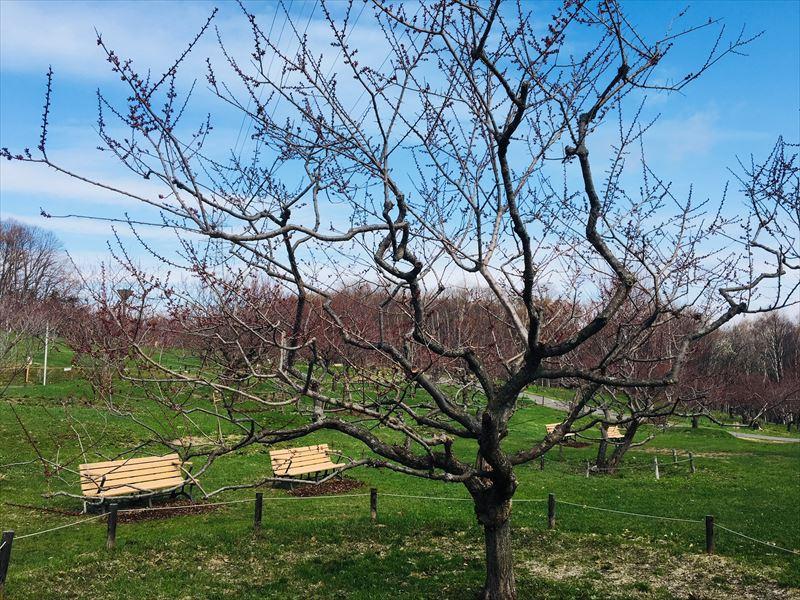 4月26日の平岡公園紅梅基準木全景