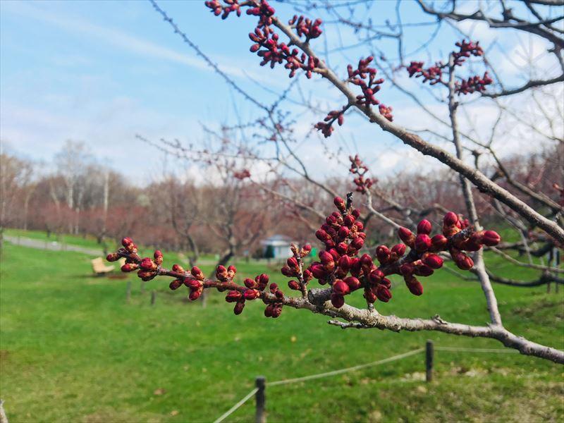 4月26日の平岡公園紅梅基準木つぼみ