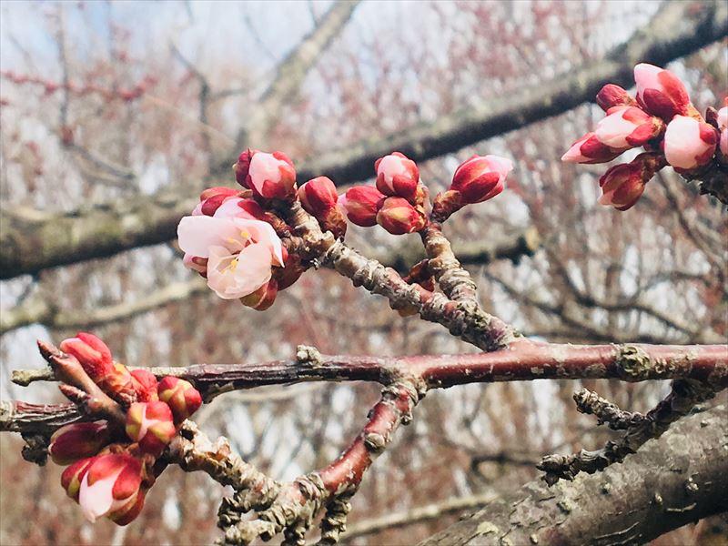 数輪咲いている日当たりの良い場所の白梅