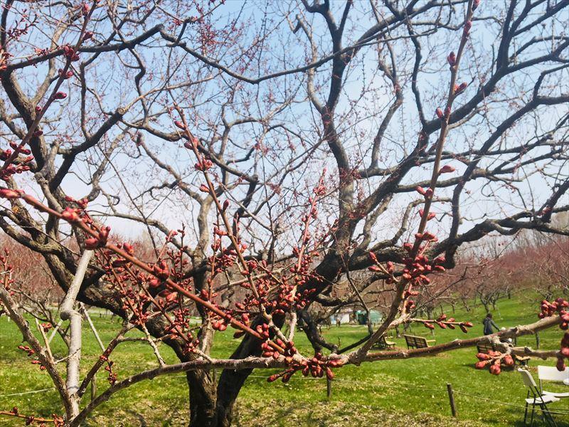 白梅基準木のつぼみ
