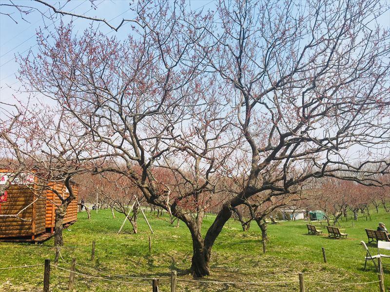白梅基準木の全景