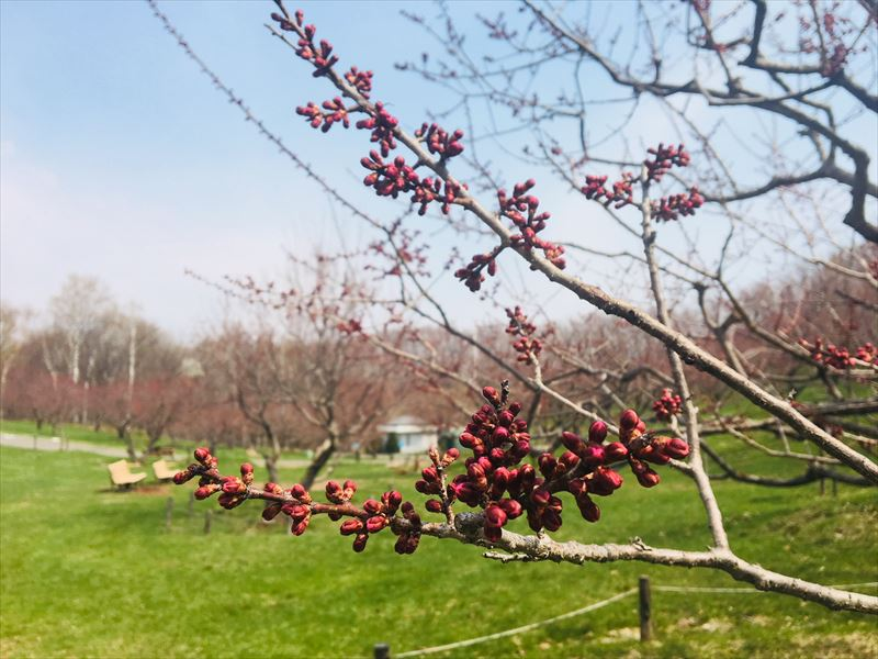 紅梅基準木のつぼみ