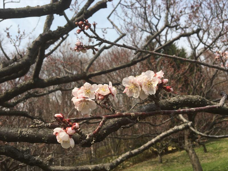すでに開花している白梅の花