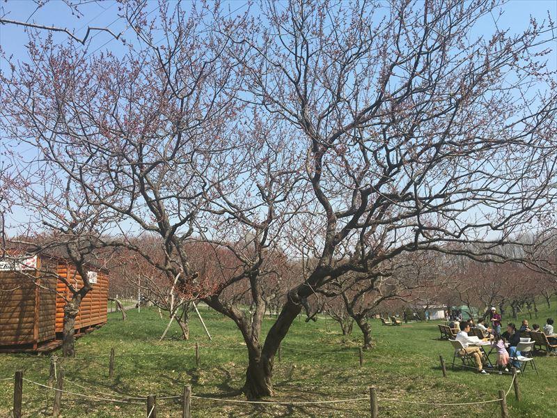 平岡公園ウメの様子(4月29日)
