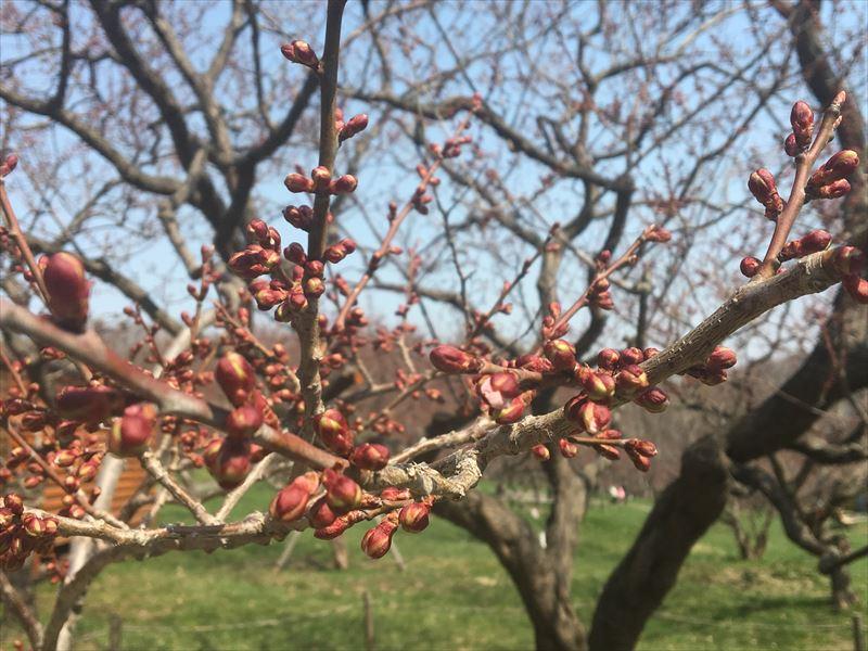白梅基準木の蕾、少し花びらが見え始めた