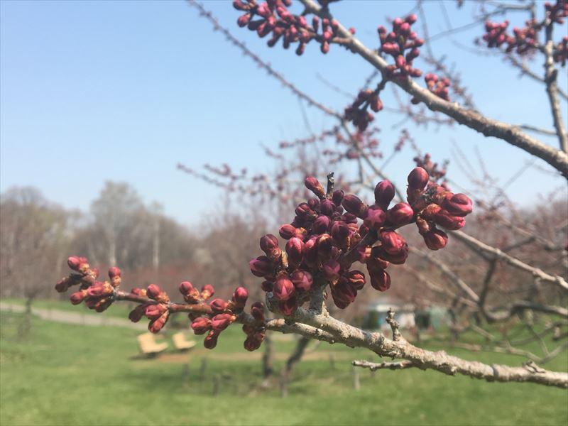 紅梅基準木の蕾、少し花びらが見え始めた