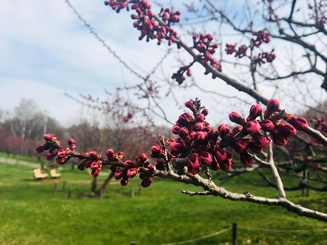 4月30日の紅梅基準木の蕾
