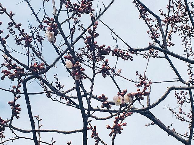 4月30日 白梅基準木開花