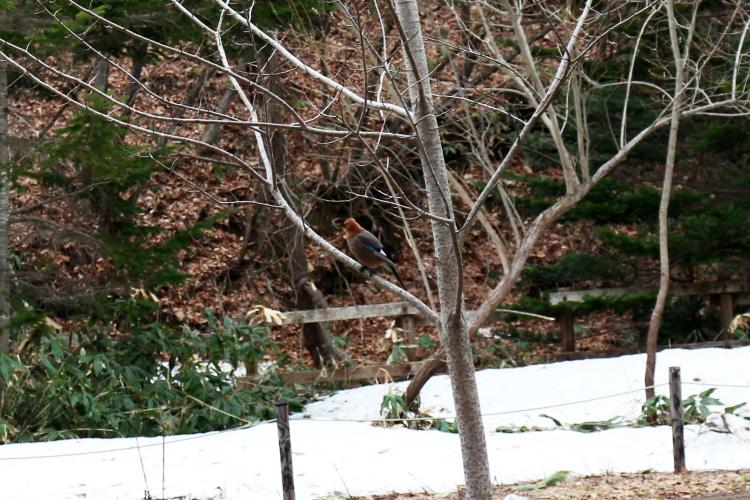 木にとまるミヤマカケス