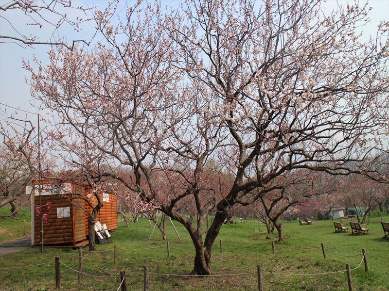 平岡公園ウメの様子(5月1日)
