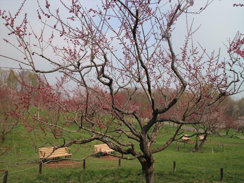 5月1日の紅梅基準木の全景(未開花)