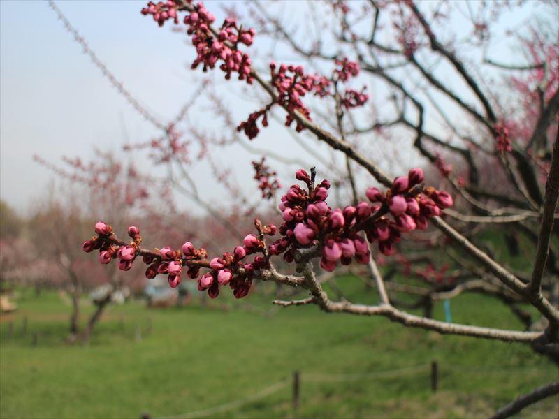 5月1日の紅梅基準木の蕾