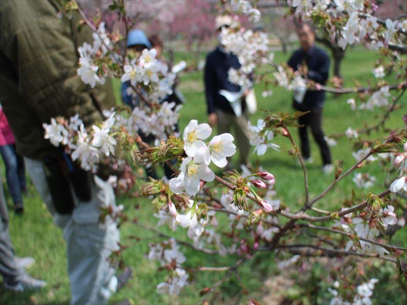 梅林の中に咲くサクラ