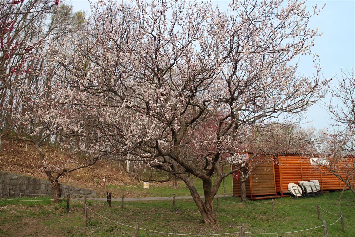 5月2日の白梅基準木の全景(五分咲)
