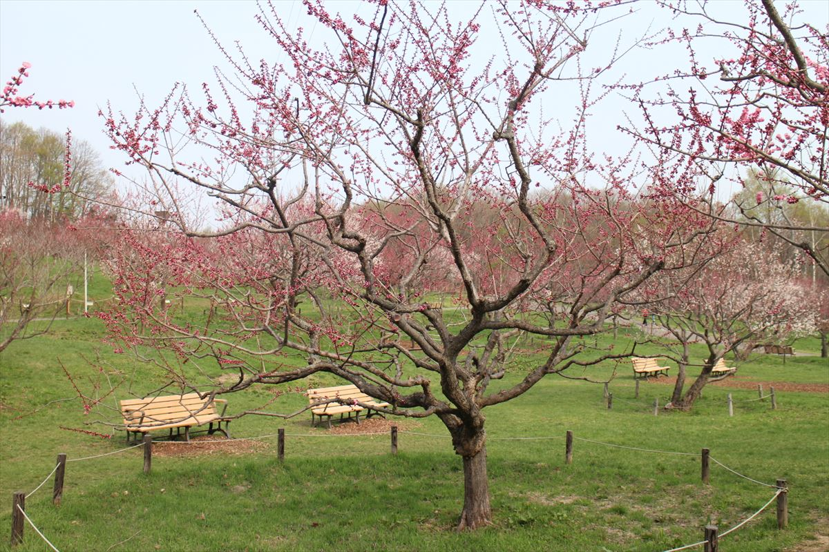 5月2日の紅梅基準木の全景(開花)