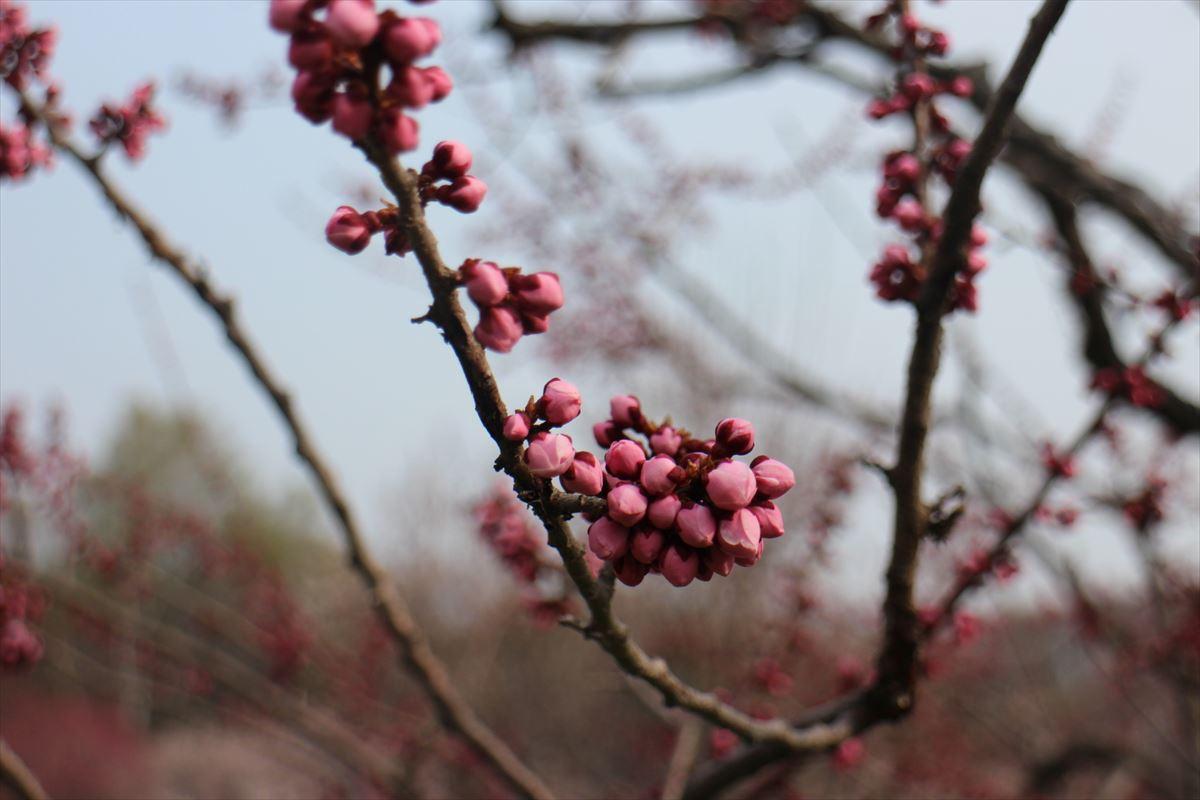 5月2日の紅梅基準木の蕾