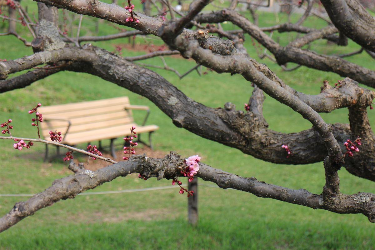 5月2日の紅梅基準木の花