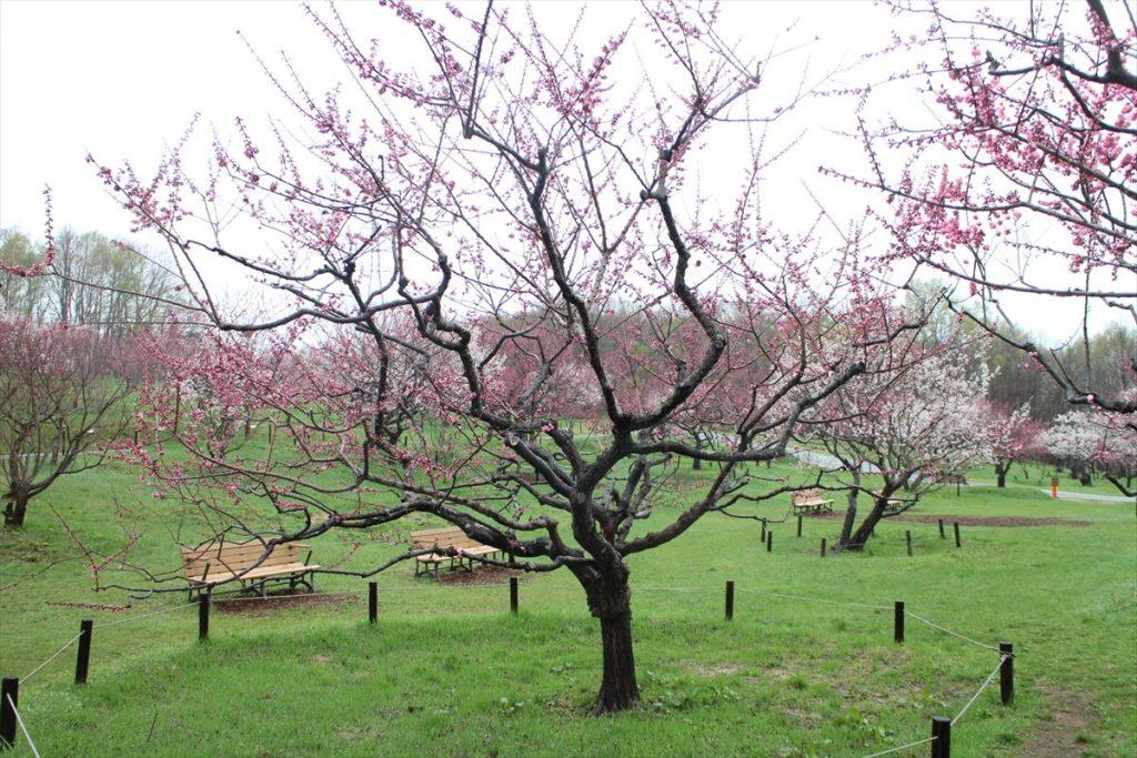 5月3日の紅梅基準木の全景(二分咲)