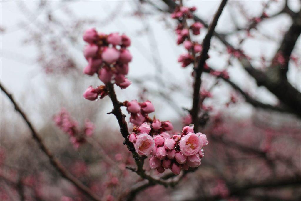 5月2日の紅梅基準木の花と蕾